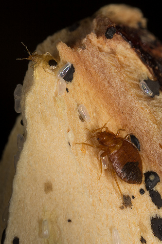 Adult bedbugs with larvae and eggs